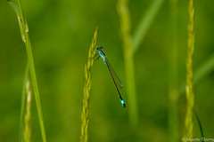 Demoiselle (musette thierry) Tags: musette thierry macro petit insecte libellule capture 28300mm nikon