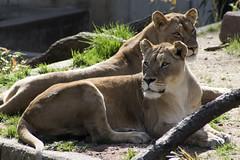 Lions at the National Zoo (dckellyphoto) Tags: washingtondc washington districtofcolumbia dc 2018 nationalzoo zoo animal animals nationalzoologicalpark smithsonian