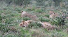 Lions. (annick vanderschelden) Tags: lionesses lion lioness cat mammal wildlife animal nature savannah bush grassland southernafricanlionesses etoshanationalpark grass trees africa southernafrica lazing resting king namibia