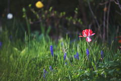 you're the only one i see (viewsfromthe519) Tags: stthomas ontario canada elgin county stt spring nature flowers bokeh tulips daffodils green yellow red pink purple blue