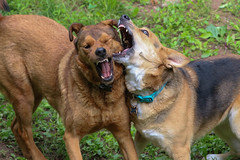 Such Elegance, Such Grace (curious_spider) Tags: dogs fighting playing snoobug loa teeth