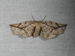 Parepisparis rutila (dhobern) Tags: 2018 australia lepidoptera may murramarangnationalpark nsw geometridae oenochrominae parepisparisrutila