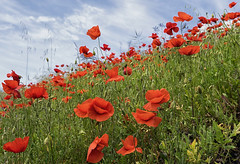 AMAPOLAS (jorgeeng55) Tags: amapolas primavera flores color campo