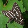 Neptis alwina (mishko2007) Tags: korea 105mmf28 neptisalwina