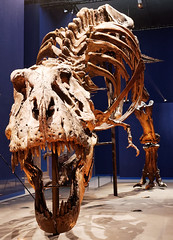 Trix (Livith Muse) Tags: dinosaure tyrannosaure squelette trix trex paris îledefrance france fra os crâne panasonic714mmf40 lumixgvario714f40 mnhn muséumdhistoirenaturelle jardindesplantes dent mâchoire lumix panasonic 14mm g80