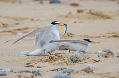 JWL5041  Little Terns... (jefflack Wildlife&Nature) Tags: littletern terns tern seabirds seashore sea beaches coast coastal coastline coastalbirds sand sanddunes countryside norfolk nature