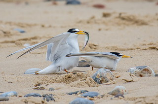 JWL5041  Little Terns...