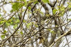20180602-0I7A5890 (siddharthx) Tags: 7dmkii ananthagiri ananthagiriforest ananthagiriforestrange bird birdwatching birding birdsinthewild birdsofindia birdsoftelangana canon canon7dmkii cottoncarrierg3 ef100400f4556isii ef100400mmf4556lisiiusm forest goldenhour jungle landscape monsoon muddy nature rain rains telangana tree trees vikarabad wet wild wildbirds wildlife longtailedshrike shrike baybackedshrike rufousbackedshrike burgupalle india in