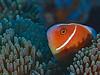 Pink Anemonefish (oceanzam) Tags: fish anemone nemo scuba diving diver ocean sea shore shoreline beach light dark eyes shadow color colorful coral reef water underwater travel holiday orange nature
