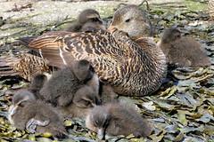 Mother love (robin denton) Tags: ducks duck eiderduck birds wildlife nature seahouses northumberland coast somateriamollissima seabird bird ducklings