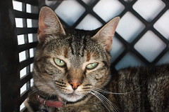 Adopt me! (rjmiller1807) Tags: cat kitty adoptdontshop adoptme sheltershot animalshelter shelter cute sweet epping animalanticrueltyleague aacl canon canoneos70d 2018 february