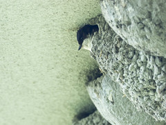 P6021091 (turbok) Tags: mehlschwalbe schwalbe tiere vögel wildtiere c kurt krimberger