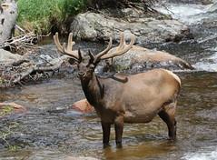 Big Bull Elk In Big Thompson River (fethers1) Tags: rockymountainnationalpark rmnp rmnpwildlife coloradowildlife elk bullelk