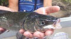 Sacramento Blackfish