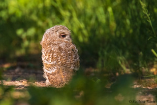 The young of Tawny owl (Strix aluco)