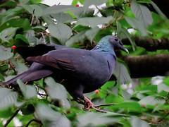Japanese wood pigeon (jubewakayama) Tags: birding nature pigeon dove japanesewoodpigeon woodpigeon columba janthina