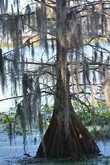 Hanging Moss (npbiffar) Tags: nature water lake tree cypress moss hanging outdoor npbiffar 150mm d7100 nikon serene peaceful waterscape landscape coth5