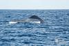 blue whale (Balaenoptera musculus) (AZORES EXPERIENCES) Tags: whalewhatchingwhale dolphine turtle azores açores island sea ocean nature freedom wildintothewildsailor atlanticocean faial faialisland azoresislands spermawhale carettacaretta dephinus bluewhaletail whaletail bluewhale finwhale grampo risso rosssdolphin