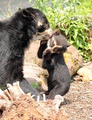spectacled bear antwerpen BB2A1448 (j.a.kok) Tags: bear beer brilbeer spectacledbear animal antwerpen mammal zoogdier dier predator zuidamerika southamerica