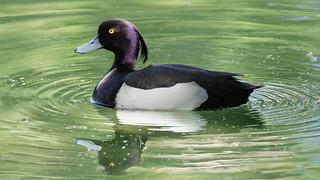 Tufted Duck / Fuligule Morillon