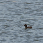 Common Loon Chick thumbnail