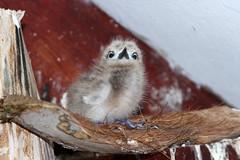 Gygis alba (Fairy Tern - Hatchling) - Seychelles (Nick Dean1) Tags: gygisalba charadriiformes fairytern tern seabird thewonderfulworldofbirds birdperfect birdwatcher seychelles indianocean africa