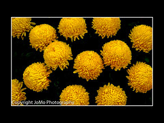 Mums the word (johnm2205) Tags: bloom chrysanthemums mums ballflower chrysanthemum full yelloworange