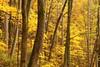 The Gold Standard (MarcusDC) Tags: anglinfalls johnpstevensonmemorialforest autumn hiking kentucky forest