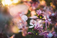 #219 - Magnolia / Magnolie (photo.by.DK) Tags: planar planar50 planar5014 carlzeiss carlzeissplanar carlzeissplanar5014 zeiss zeisslens contax contaxyashica cy oldlens legacylense manuallens manualfocus manual manualondigital magnolia wideopen wideopenbokeh shotwideopen sonya7 sonyilce sony sonyalpha sonya7ii fullframe 50mm vintage vintagelens bokeh bokehlicious bokehful artbydk photobydk