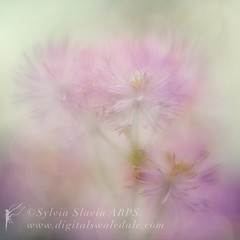 Pretty in Pink (Sylvia Slavin ARPS (woodelf)) Tags: pink orchard flowers lensbaby velvet 56mm ethereal soft