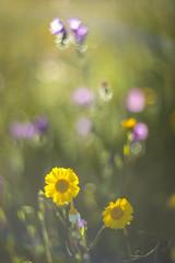 Morning joy . (look to see) Tags: bokeh bloemen flowers kleur color lente castellodevide portugal helios40 85mm morning 2018 vintagelens