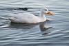 White Mallard (rlb1957) Tags: mallard duck anasplatyrhynchos white leucistic leucism swimming robertwbrownmemorialstatebeach alameda california hybrid