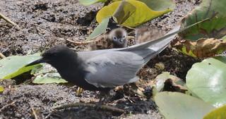 Black Tern With Chicks