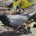 Black Tern With Chicks thumbnail