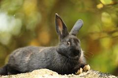 Small baby (Teruhide Tomori) Tags: rabbit wild animal ohkunojimaisland hiroshima takehara japan japon ウサギ アナウサギ 大久野島 広島 竹原 瀬戸内海 setoinlandsea 動物 野生 nature 自然
