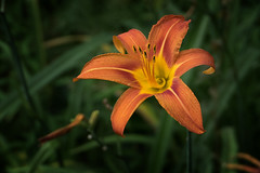 Wild Day Lilly - 060818-094617 (Glenn Anderson.) Tags: flowers daylily roadsidecloseup nature spring pollon petal stigma style pistil anther filament orange wildflower fullbloom