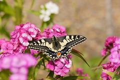 Swallowtail (yvonnepay615) Tags: panasonic lumix gh4 nature butterfly swallowtail rspb strumpshaw norfolk eastanglia uk