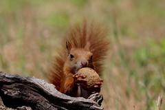 Dov'è la scadenza ? - Hhm... food expiry ? (carlo612001) Tags: scoiattolo noce scadenza etichetta squirrel nut chestnut food expiry foodexpiry