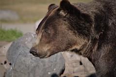 Last One (michael.veltman) Tags: bear sanctuary