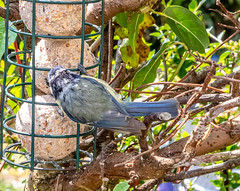 Blue Tit (possibly a juvenile) - Garden Visitors to the Feeders (2.4 mil views - Thank you all.) Tags: johnstown wales unitedkingdom gb stanleyeastwood staneastwood birds garden feeder woodpecker bluetit starling camouflage