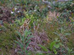 koppelo_ja _poikanen_0002 (Kari I.) Tags: metso kainuu n uomi finland black grouse female koppelo young bird