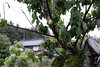 Ume fruit (odeleapple) Tags: nikon d810 afs nikkor 50mm ume plum apricot fuit rain tree