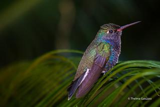 Sapphire-spangled Emerald Hummingbird
