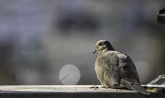 Mourning Dove (Accipiter22) Tags: mourningdove bird birds birdfeeder boston massachusetts