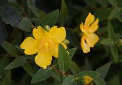 DSC_0273 (PeaTJay) Tags: nikond750 reading lowerearley berkshire macro micro closeups gardens outdoors nature flora fauna plants flowers rose roses rosebuds