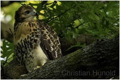 not yet (Christian Hunold) Tags: redtailedhawk buteojamaicensis rotschwanzbussard eakinsoval philadelphia christianhunold