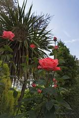 Apuntando al cielo (Otra@Mirada) Tags: rosa flores jardín primavera verde rosas cielo