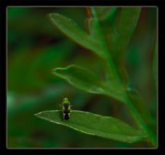 Ornate Plant Bug 1 - Reuteroscopus ornatus - Anaglyph 3D (DarkOnus) Tags: pennsylvania buckscounty huawei mate8 cell phone 3d stereogram stereography stereo darkonus closeup macro insect ornate plant bug reuteroscopus ornatus anaglyph