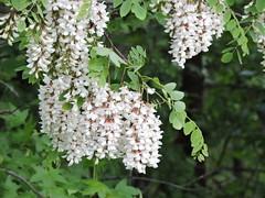 (Mimi & Bop) Tags: bombay 2018 plant flower
