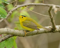 2018-05-19 Montrose Point 9 (JanetandPhil) Tags: 2018naturepreservesvariouslocations birds montrosepointbirdsanctuary chicagoparkdistrict chicagoil nikon nikkor d800 800mmf56 wilsonswarbler cardellinapusilla